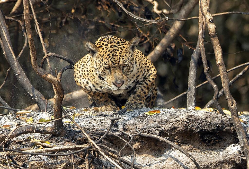 Jaguar in Brasil wildfire