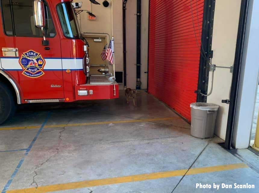 Coyote inside bay of Fort Lauderdale firehouse